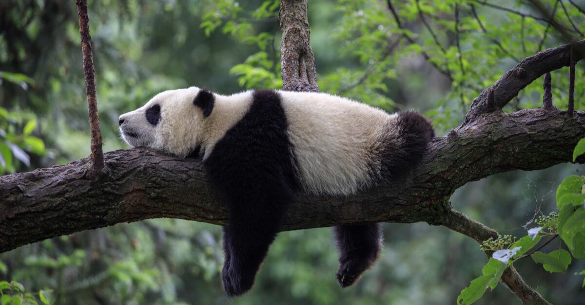 panda breeder
